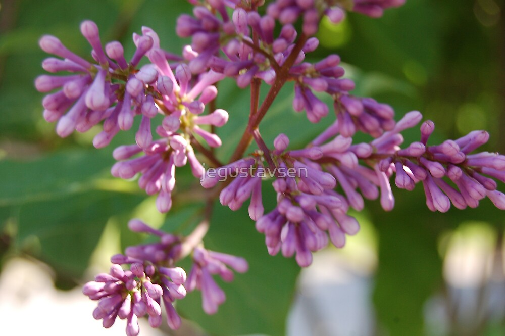 Korean Lilac by jegustavsen