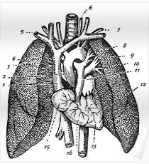 Human Anatomy Drawing: Lungs, Airways, Muscles Poster
