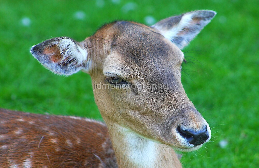 Deer........... by jdmphotography