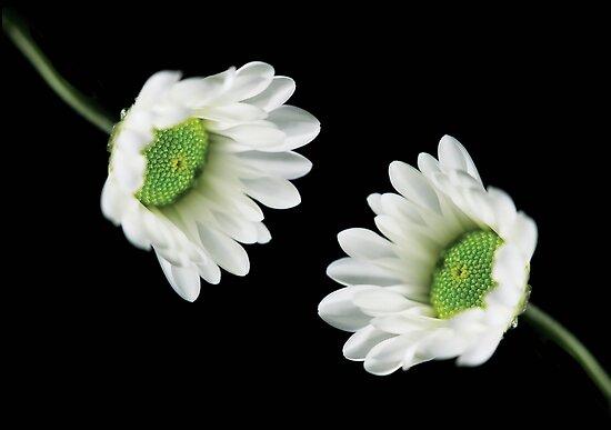 Two chrysanthemums by lenaivanova