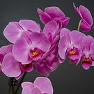 Long lasting orchids by DebbyScott