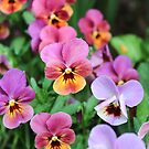Vibrant Pansies  by Southern  Departure
