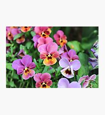 Vibrant Pansies  Photographic Print