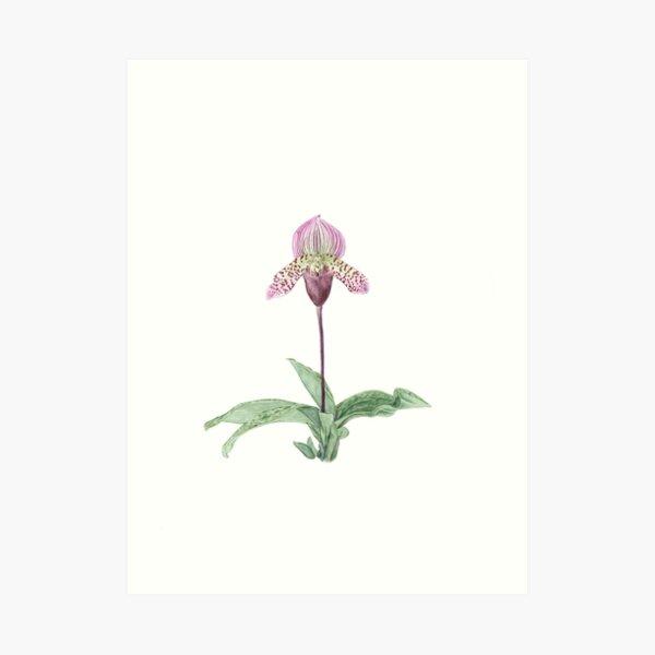Lady Slipper Orchid Art Print