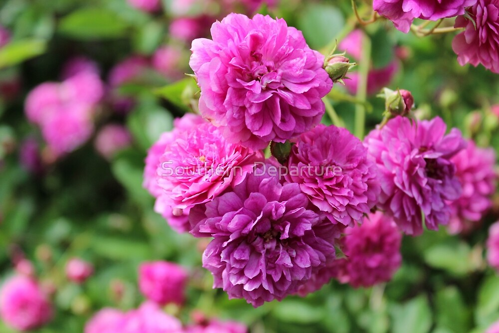 Perfectly Pink Roses by Southern  Departure