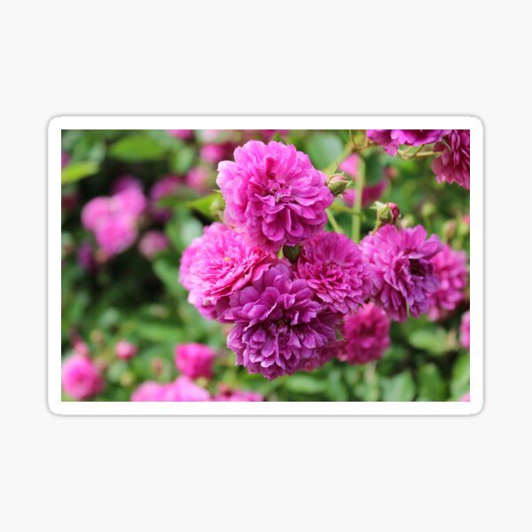 Perfectly Pink Roses Sticker