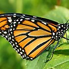 Monarch Butterfly Newly Hatched by Vickie Emms