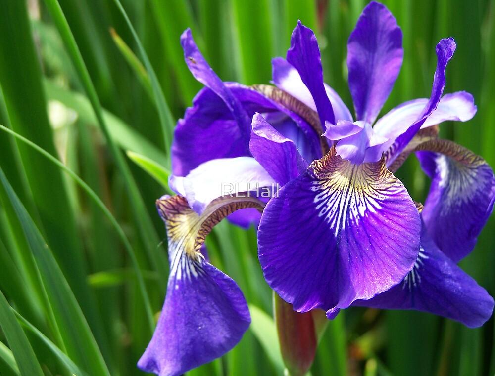 Iris by RLHall