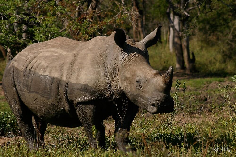 Muddy Rhino by Ian Tilly