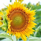 Summer sunflowers by Southern  Departure