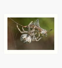 Araneus diadematus  Art Print