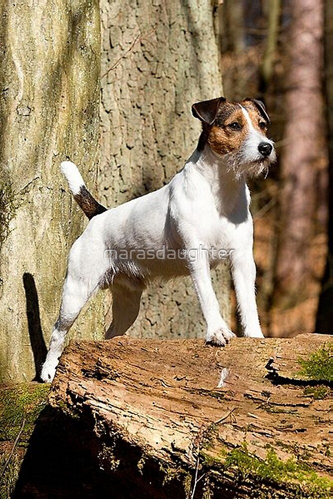 parson russell terrier in woods by marasdaughter