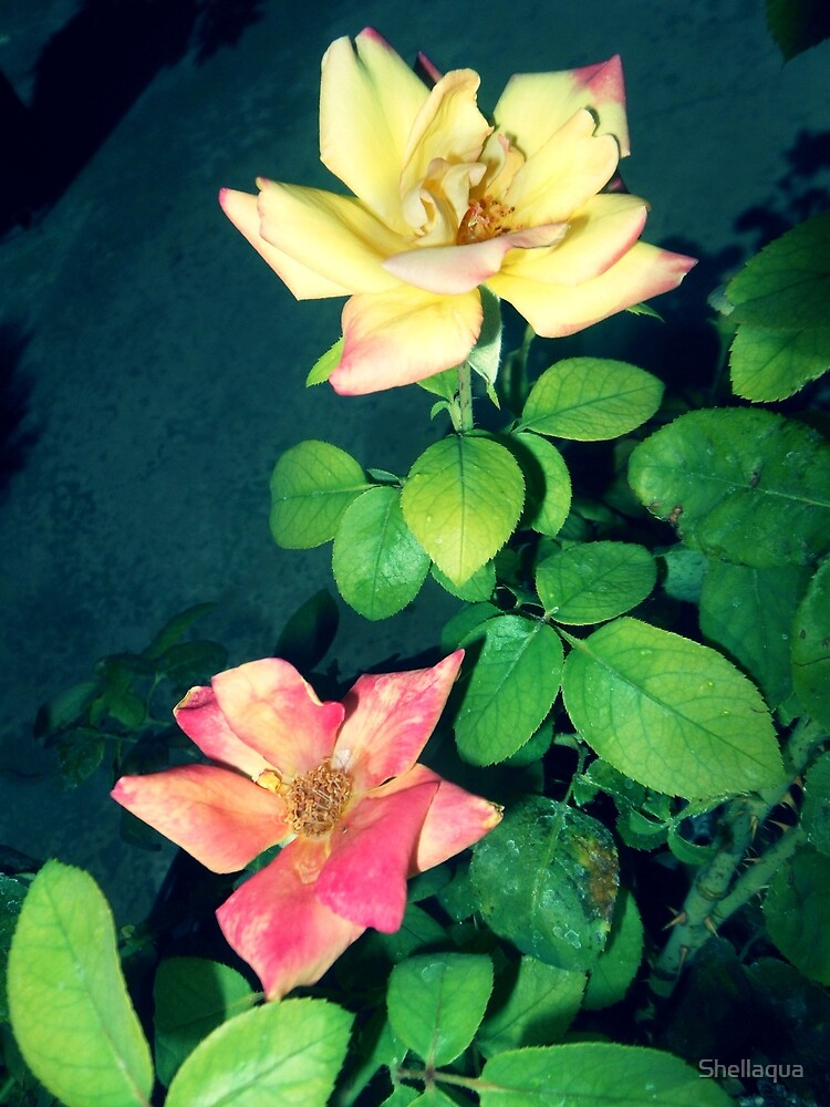 yellow and pinkish roses 07/28/17 by Shellaqua