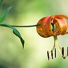 Tiger Lily by T.J. Martin