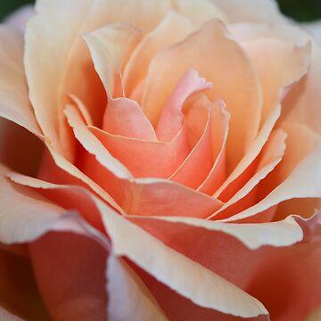Peach Rose by yortman