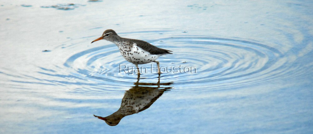 Spotted Sandpiper by Ryan Houston