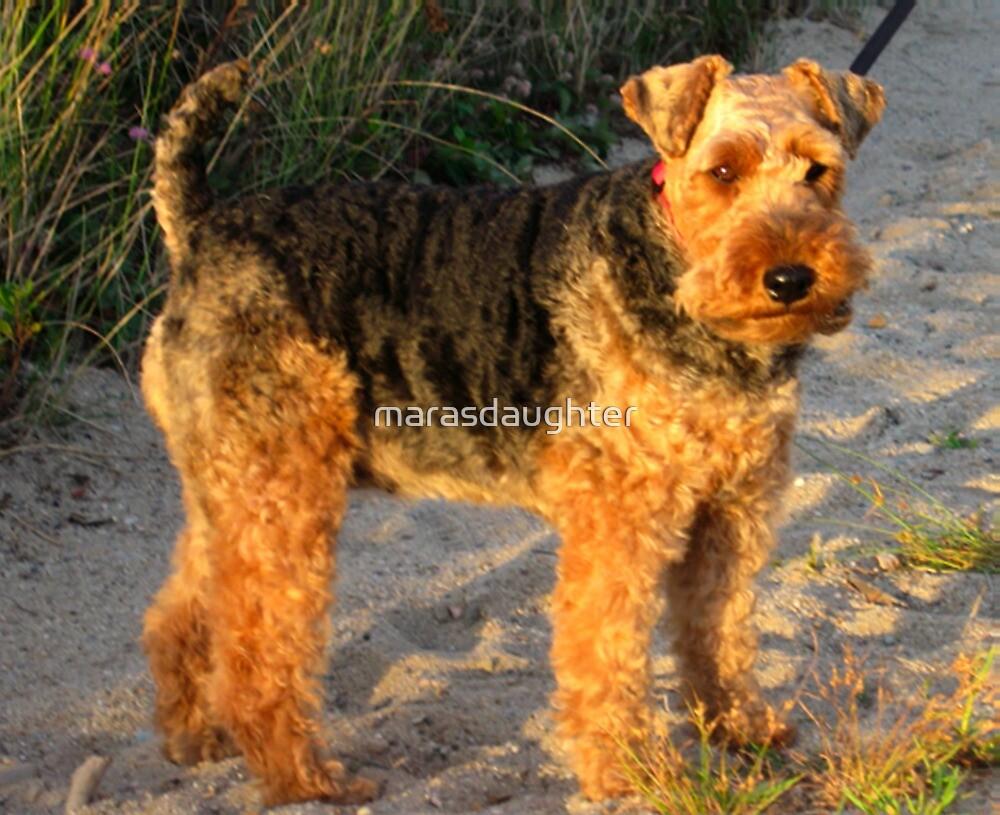 welsh terrier full by marasdaughter