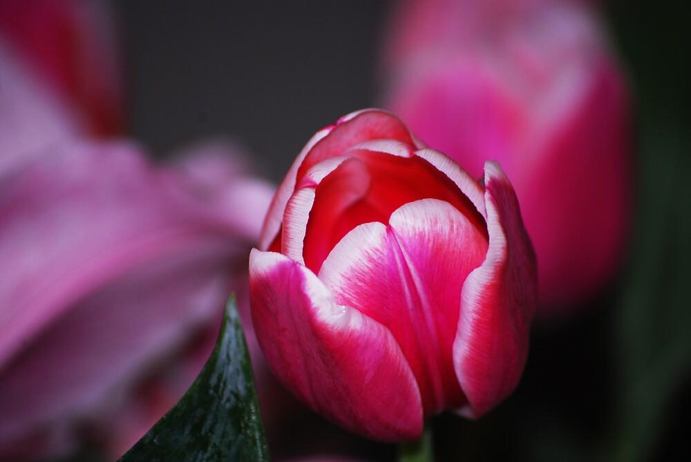 Tulip by MickaelaGood