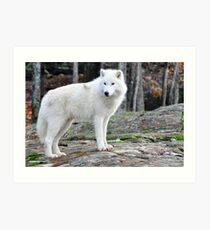 Arctic Wolf - Québèc, Canada Art Print