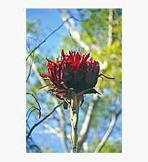 Gymea Lily Photographic Print