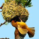 Masked weaver building by ingridewhere