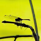 Dragonfly by lynnamarie