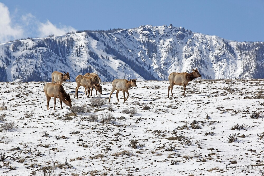 Yellowstone Park by Roger  Miller