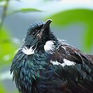 Tui - If you think I look bad, you should see the other guy....!!! by Roy  Massicks
