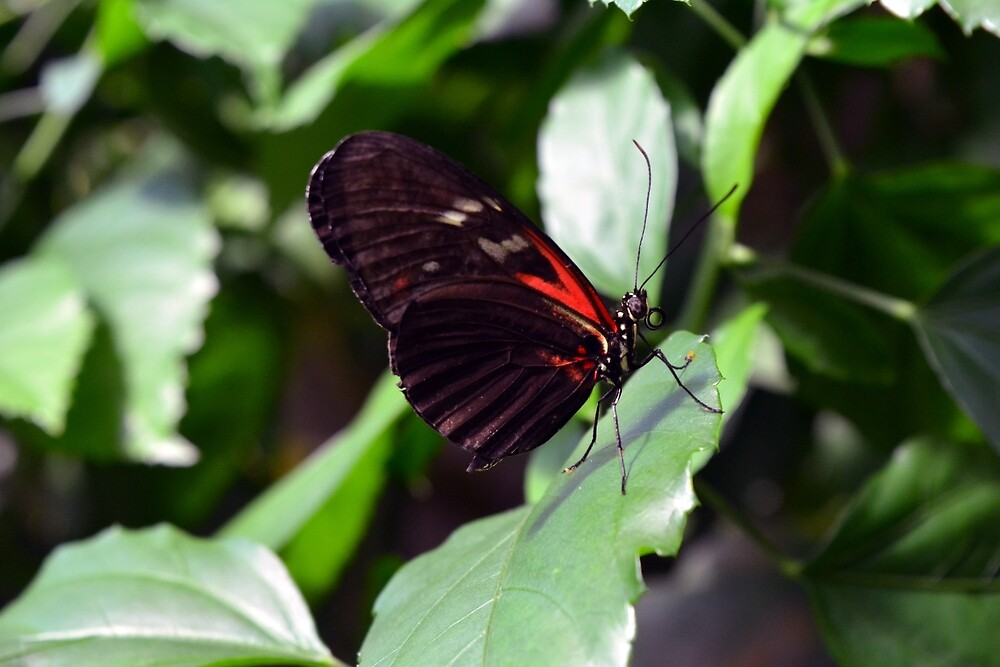 Red and black butterfly in the garden by oanaunciuleanu