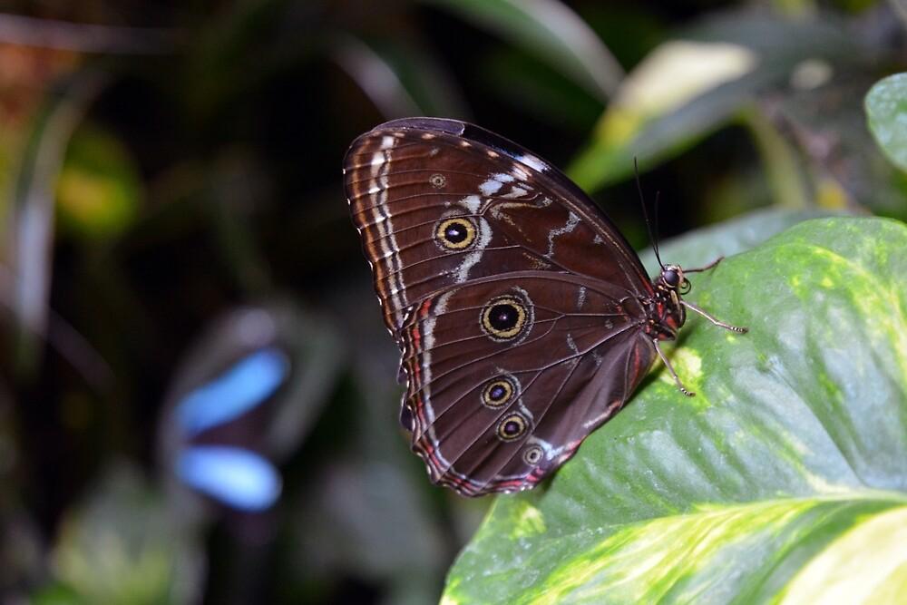 Beautiful brown butterfly sitting on leaves in the garden by oanaunciuleanu