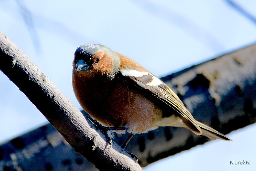 Common chaffinch (Fringilla coelebs) Zięba zwyczajna (x) by MarekM