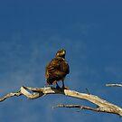 Bird of Prey by Justin020