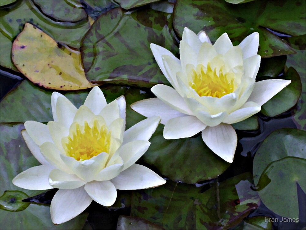 WATER LILLIES by Fran James