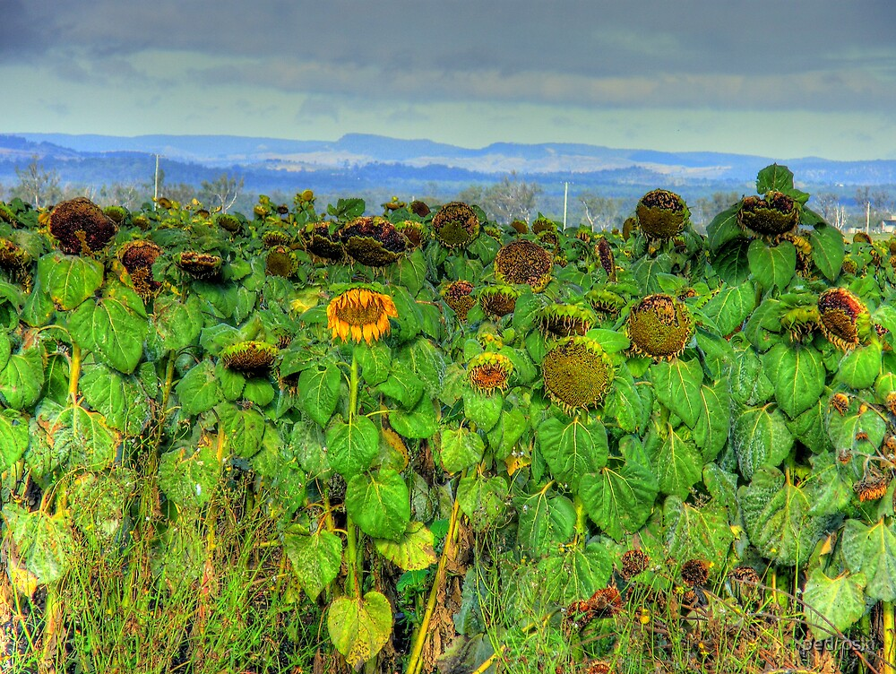 Sunflowers on the Darling Downs by pedroski