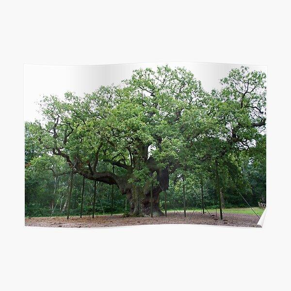 The Major Oak Poster