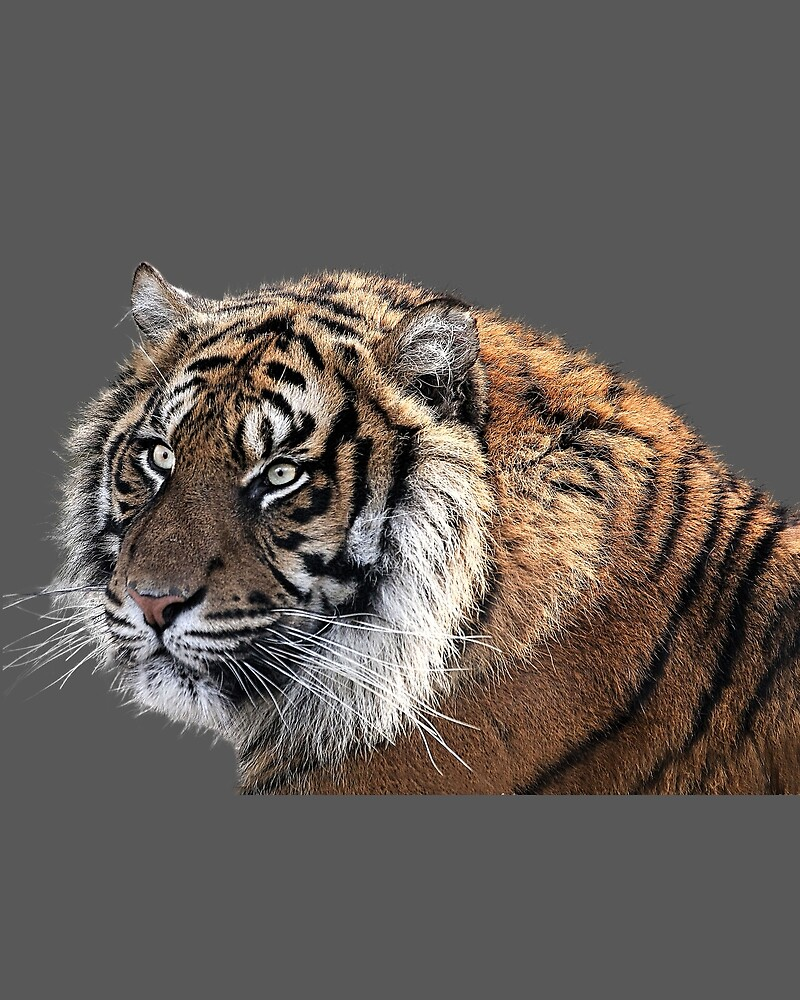 TIGER (2) by BackInTime