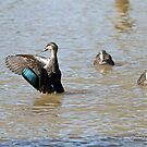 Pacific Black Duck (661) by Emmy Silvius