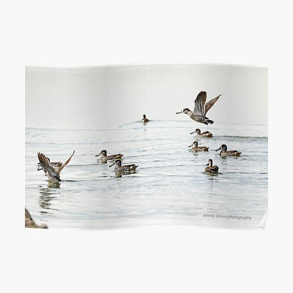 Pink-eared Duck (763) Poster