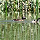 Hardhead and Australasian Grebe (381) by Emmy Silvius