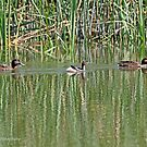 Hardheads and Australasian Grebe (379) by Emmy Silvius