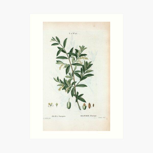 Traité des Arbres et Arbustes 0299 Olea Europæa Olivier d'Europe Green olive Kunstdruck