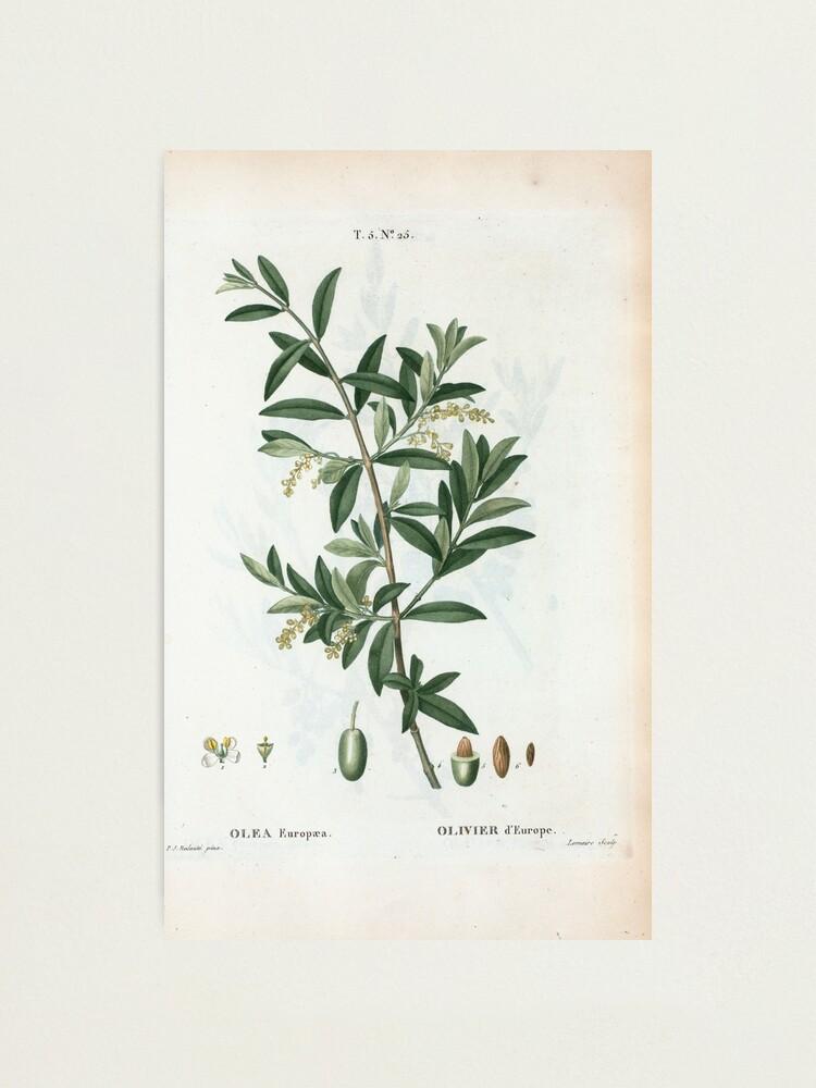 Alternate view of Traité des Arbres et Arbustes 0299 Olea Europæa Olivier d'Europe Green olive Photographic Print