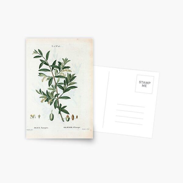 Traité des Arbres et Arbustes 0299 Olea Europæa Olivier d'Europe Green olive Postcard