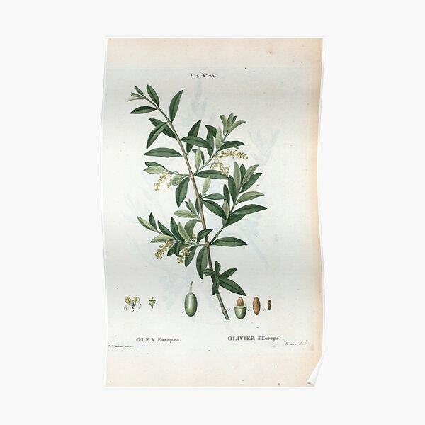 Traité des Arbres et Arbustes 0299 Olea Europæa Olivier d'Europe Green olive Poster