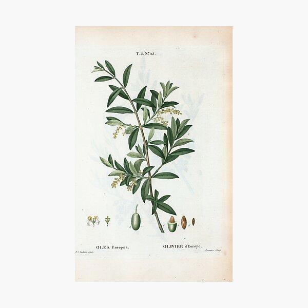 Traité des Arbres et Arbustes 0299 Olea Europæa Olivier d'Europe Green olive Fotodruck