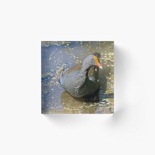 Dusky Moorhen (282) Acrylic Block