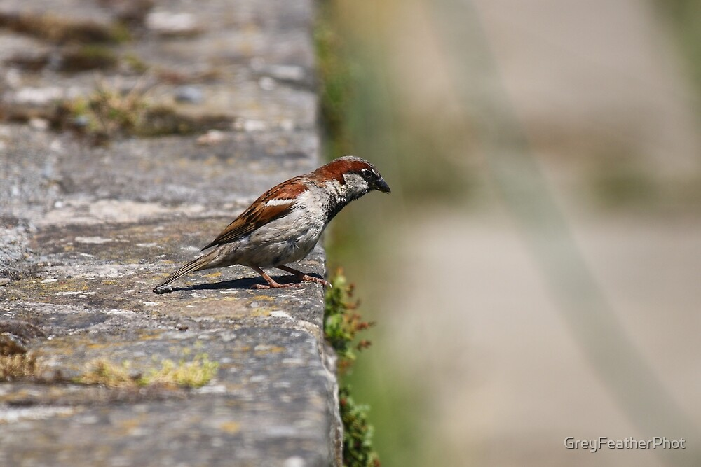 Sparrow on a wall by GreyFeatherPhot