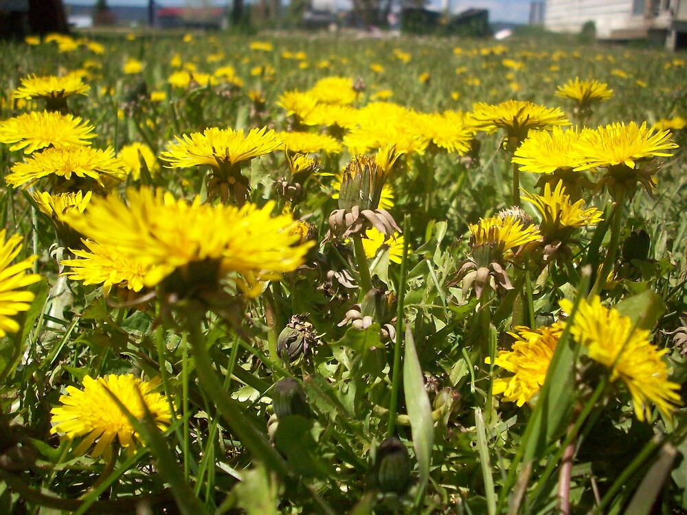 feild of dandelions! by Jessica Leavitt