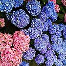 Hydrangea Arborescens - Annabelle by Pandamatastic