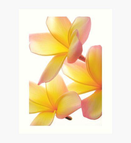 Yellow Frangipani Art Print